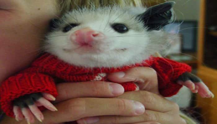 Playin' Possum — Rescue Opossum Dons Pajamas & Cuddles With
