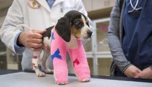 Puppy Born with Paws the Wrong Way Around Gets Surgery to Help Him Walk